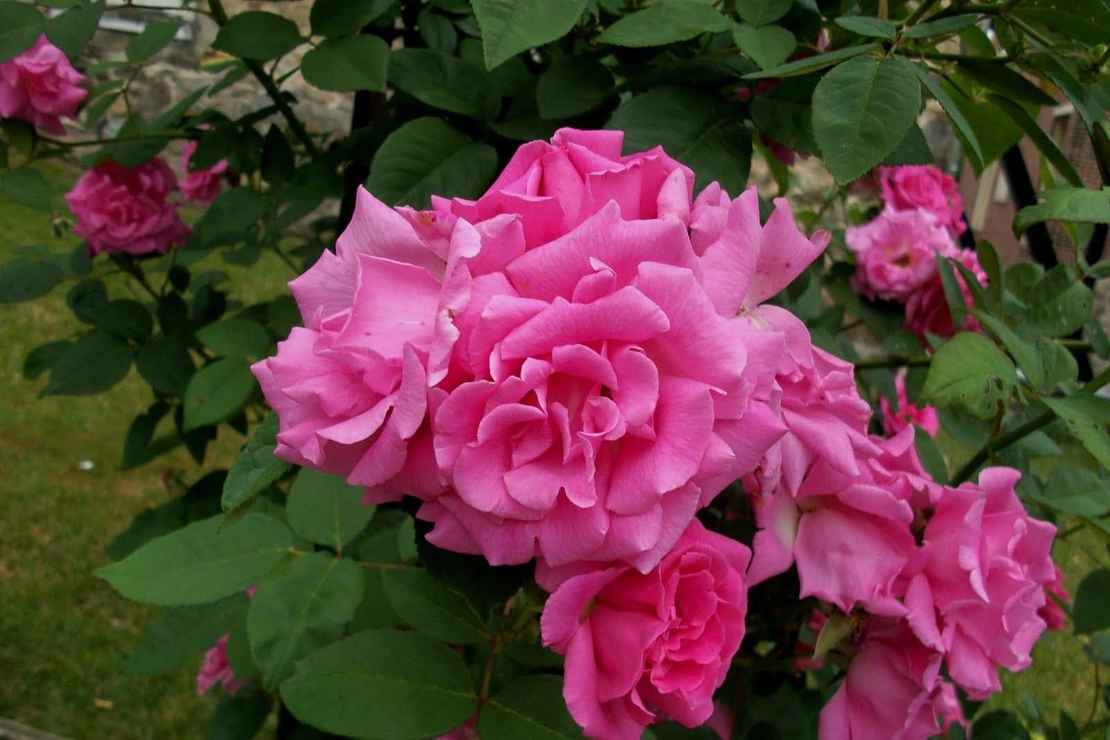 Zephirine Drouhin Climbing Rose zephirine drouhin